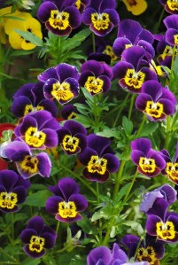 blog2 pansy faces