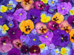blog2 pansy faces1