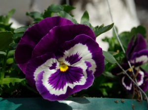 blog2 pansy faces2