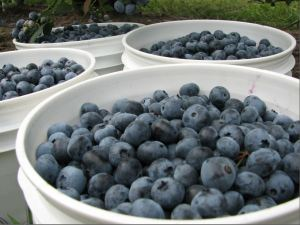 Blueberry pails Capture